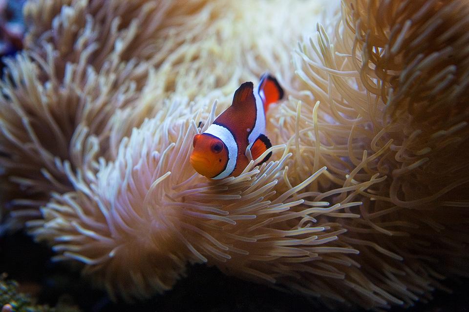 Clownfish at Birch Aquarium