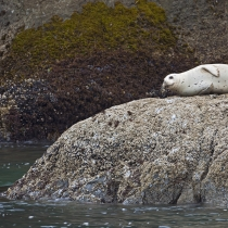 Resting harbor seal along Bandon Beach