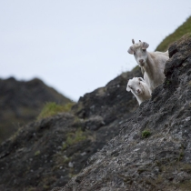 Feral goats along Oregon\'s coast