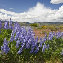 Lupine in the Tom McCall Preserve