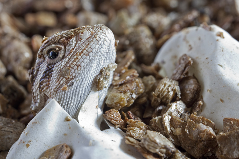 Bearded Dragon Hatching