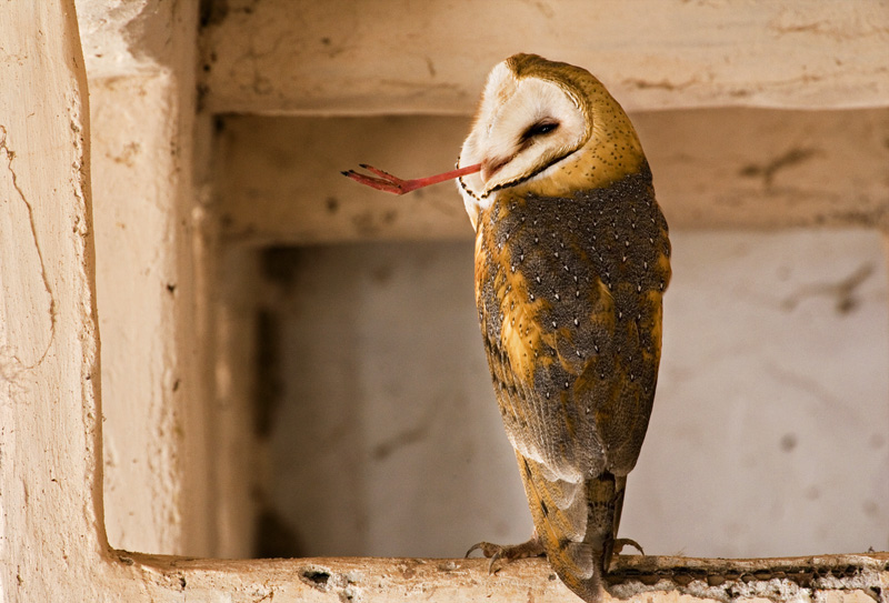 Salton Sea Barn Owl