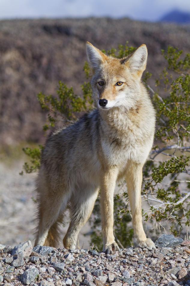 DeathValley-Coyote-2.jpg