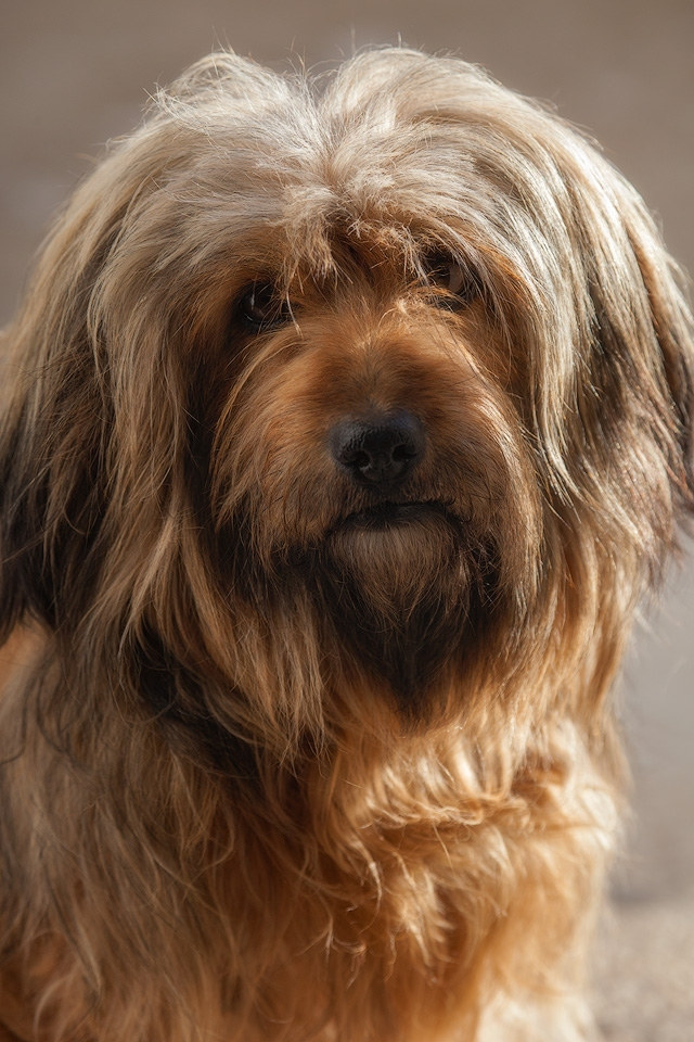 Hairy Croatian Dog