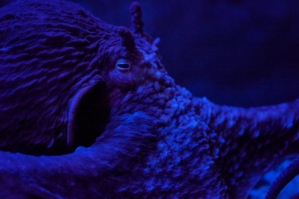 Octopus at Birch Aquarium