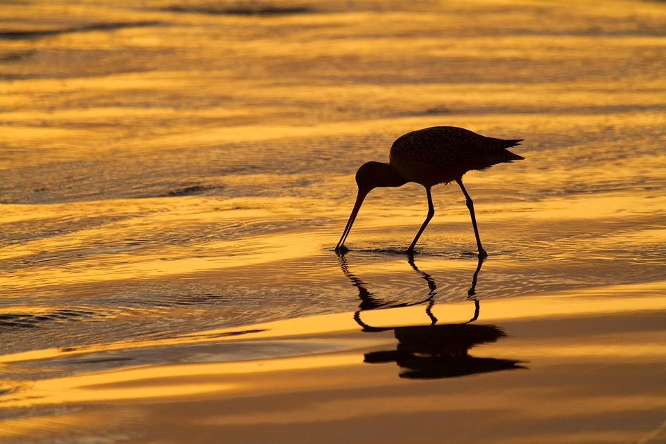 Long-Billed Dowitcher in San Diego